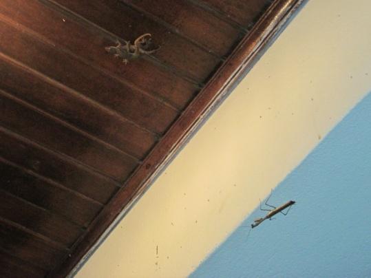 Paarungsakt der Geckos mit beobachtung durch Stabheuschrecke