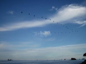 Pelikane im Aufwind
