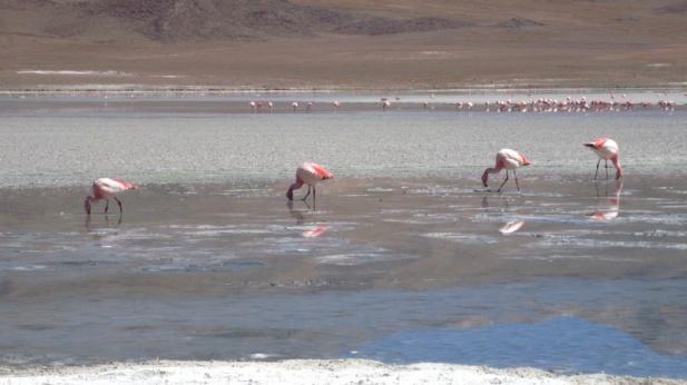 Flamingos im Lago