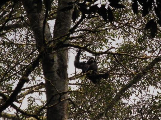 ein Gibbon