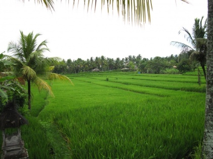 in den Reisfeldern