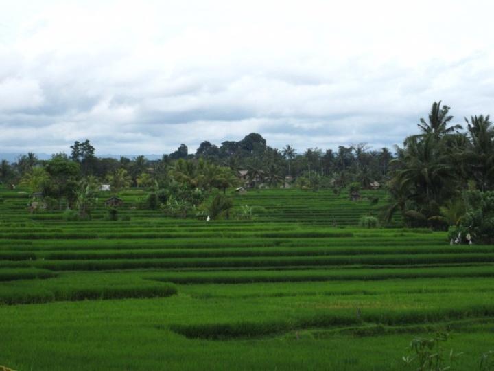 Reisfelder in Ubud