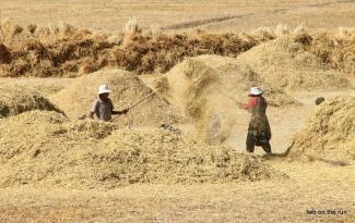 Getreideernte in Tibet