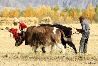 Tibetischer Bauer pflügt sein Feld um