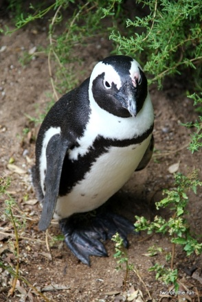 Pinguin am Boulders Beach