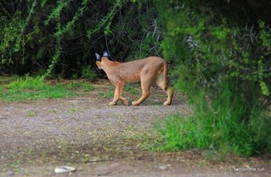 Karoo Nationalpark - Karakal