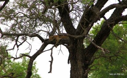Krüger Park - Leopard