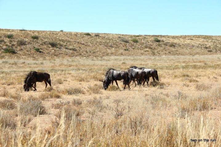 Im Kgalagadi Transfrontier Park - Gnu