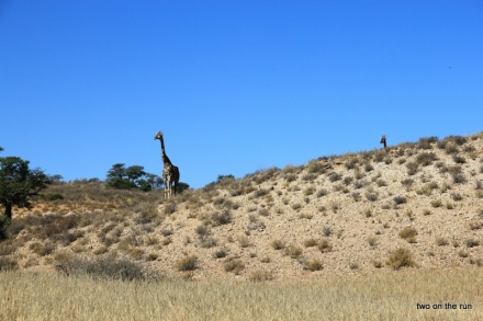 Im Kgalagadi Transfrontier Park - Giraffe