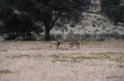 Im Kgalagadi Transfrontier Park - Die Löwen