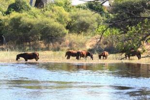 Flusspferde - Okavangodelta
