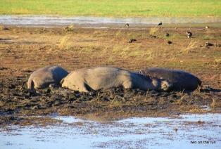 Chobe River - Hippos