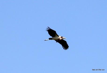 Ein Flugsaurier - Marabu