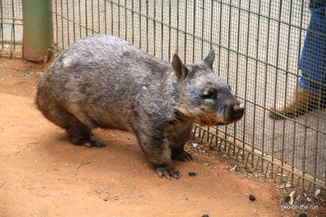 Ist er nicht süß.... Wombat