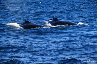 Whale watching in Augusta