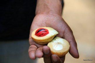 Sri Lanka - frische Muskatnuss im Spice Garden