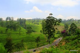 Sri Lanka - Teeplantage neben der Eisenbahnstrecke